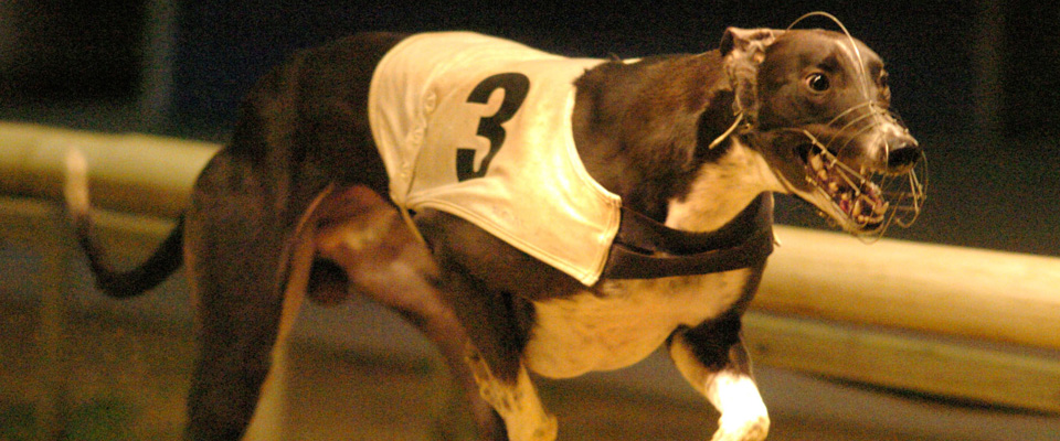 Greyhound racing videos